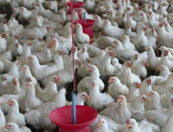 commercial-poultry-producti